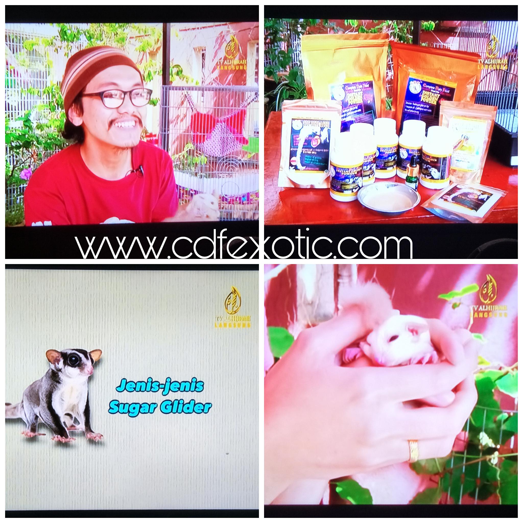 Sugar glider di malaysia